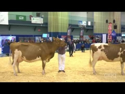 Embedded thumbnail for Suprême Laitier 2017 – Grand Championnat - Holstein rouge